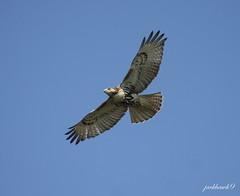"""Red-tailed Hawk""  ""Buteo jamaicensis"" (jackhawk9) Tags: nature birds canon newjersey wildlife ngc raptors southjersey birdsofprey hawks redtailedhawk buteojamaicensis edwinbforsythenationalwildliferefuge jackhawk9"