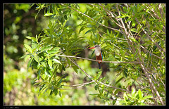 Kingfisher (Ania Dembny) Tags: africa cute bird birds kenya beak feathers kingfisher colourful masaimara aniajones copyright2014aniajones copyright2013aniajones copyright2012aniajones copyright2011aniajones copyright2010aniajones aniadembny aniadembnylrps