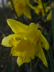 Woodstock Pool Daffodil (Dave Roberts3) Tags: flower macro yellow wales newport gwent blueribbonwinner coth
