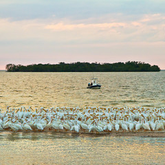American White Pelicans (Ant1_G) Tags: park city sunset usa white nature islands flock pelican national mangrove everglades americans fl thousands
