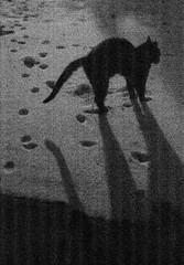 Grainy Jack thrown into the snow (Agfa Agfapan 400) (baumbaTz) Tags: old schnee winter shadow blackandwhite bw sunlight snow monochrome cat germany jack deutschland blackwhite atl footprints silouette 49 400 epson sw katze monochrom grayscale february agfa expired schwarzweiss schatten kater stade februar tomcat 2200 greyscale poorly niedersachsen lowersaxony jobo sonnenlicht v500 adox fussspuren agfapan autolab 2013 atoma vuescan kutenholz fusspuren storaged 201302 atl2200