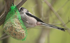 Msange  longue queue - long-tail tit - Aegithalos caudatus (Cokebuster) Tags: bird tit queue oiseau longtail msange longue aegithalos caudatus nimy