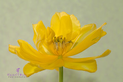 IMG_0598.jpg (rachbaker13) Tags: flower macro yellow yellowflower tulip yellowtulip inclose insideatulip macrophotographer rachelbakerphotography