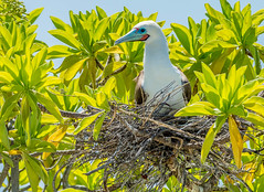 Red-footed Booby (Loren Mooney) Tags: life wild nature birds animals natural nest wildlife kiribati nesting redfootedbooby tropicalbirds christmasisland sulasula