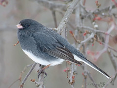 Snow Birds (JacquiTnature) Tags: bird nature wildlife aves buds migration songbird darkeyedjunco snowbird latewinter passerine juncohyermalis jacquit