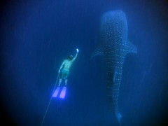 Ery and the whaleshark (dive-angel (Karin)) Tags: whaleshark ery walhai