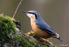 Game of Stones,Nuthatch (claylaner) Tags: bird woodland ngc npc nuthatch sittaeuropaea styal passerine canon60d