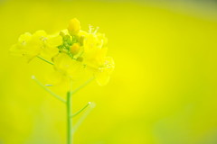 Swelling (*Sakura*) Tags: flower macro green nature yellow japan tokyo mustard sakura  earlyspring  rapeblossoms