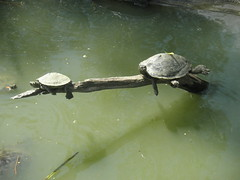 Turtles on a tree (KronoPictures) Tags: 2 shells france tree green water nice sweet turtles parc