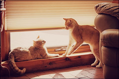 Greeting (K. Sawyer Photography) Tags: cats playing window tabby ledge blinds greeting
