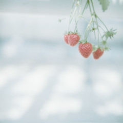 *strawberry (fangchun15) Tags: 120 6x6 film japan kodak hasselblad chiba motherfarm portra400 マザー牧場