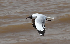 Brown-headed Gull (Brendan A Ryan) Tags: brownheadedgull