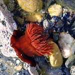 "Red Anemone <a style=""margin-left:10px; font-size:0.8em;"" href=""http://www.flickr.com/photos/89335711@N00/8595539411/"" target=""_blank"">@flickr</a>"