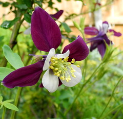Columbine in late afternoon (pawightm (Patricia)) Tags: austin texas ngc inmygarden centraltexas marchblooms mixedborder backyardborder aquilegiaorigami pawightm dscn6609 maroonpurplecolumbine hybridaquilegia