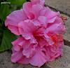Hibiscus double pink (pat.bluey) Tags: pink macro australia hibiscus newsouthwales 1001nights warilla 1001nightsmagiccity hennysgardens