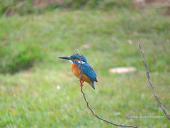 Kingfisher Bird - Alwar (Tarun Chopra) Tags: gurgaon alwar powershotsx50hs