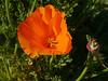 Californian poppy (Eschscholzia californica), Queribus (Niall Corbet) Tags: france languedoc roussillon aude flora flower orange poppy californianpoppy eschscholziacalifornica queribus