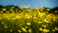 Who Loves Buttercups? (Rob Pitt) Tags: field yellow canon 50mm dof heart cheshire bokeh shaped creative f18 depth wirral buttercups wirralway