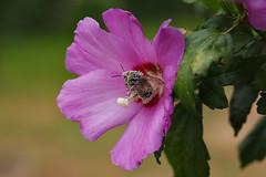 Bourdon Butineur (TATIUMZI) Tags: france sudouest aqutaine dordogne montponmnestrol mnestrol macro fleur insecte pollen canon canoneos canoneos5dmarkii sigma sigma105macroex