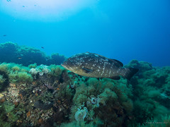 "Mero (Epinephelus marginatus) Cabo de Palos; Spain ""Bajo de Piles I"" (JuanAnd-erwater) Tags: seleccionar"
