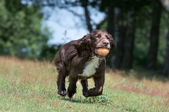 Dog Photography by Gerry Slade-2460 (Photography By Gerry Slade) Tags: dogphotographer gerryslade wwwgerrysladecouk