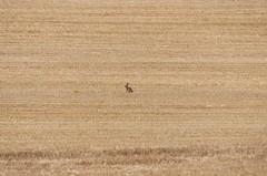 spot the hare (sasastro) Tags: cornfield hare pentaxk5iis pentaxda55300mm