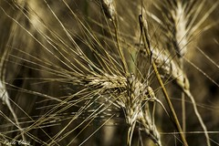 Tempo di mietitura - Harvest time (Pablos55) Tags: grano spighe wheat ears