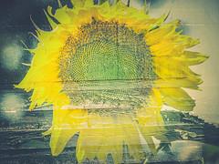 Sunflower (ildikoannable) Tags: sunflower flower colour vivid yellow olympus doubleexposure texture vintage creative