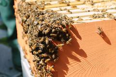Pileup of Honey Bees (AdamCohn) Tags: adamcohn seattle washington apiary beekeeping bees honey honeybees honeycomb wwwadamcohncom