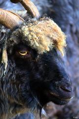 goat (gshaun12) Tags: goat macrodreams macro upclose nature fantasticnature wildlife animals bokeh art