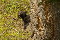 Taking a bite out of life (ChicagoBob46) Tags: blackbear bear coy cub cuboftheyear yellowstone yellowstonenationalpark nature wildlife