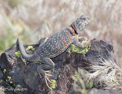 Great Basin Collared Lizard (Crotaphytus bicinctores) (David A Jahn) Tags: great basin collared lizard crotaphytus bicinctores basking rock nevada
