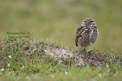 Burrowing_Gaze_WEB_U6A4144 (beeton_bear) Tags: owl burrow burrowingowl athenacunicularia beetonbear claudelecours fl florida nature wild wildlife bird ave aves