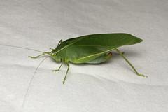 Orthoptera sp. (Katydid) - Costa Rica (Nick Dean1) Tags: orthoptera grasshopper katydid animalia arthropoda arthropod hexapoda hexapod insect insecta costarica lakearenal guanacaste