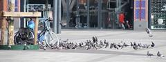 Duiven Voeden (josbert.lonnee) Tags: enschede plein square duiven pigeons voeden voeren feeding feed zoom outdoor