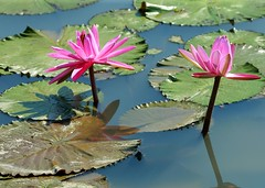 DP1U4107 (c0466art) Tags: 2016 summer season lotus field  wate rlilies cloom colorful flowers scenery landscape canon 1dx c0466art