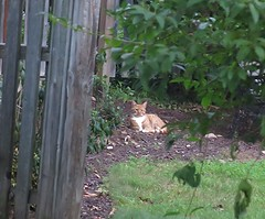 Friday Colours - The New Stray Cat, Horatio. (Pushapoze) Tags: fence hff horatio sdf cat gato chat