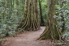 Rainforest Mary Cairncross (Bev-lyn) Tags: rainforest maleny trees figs shade outdoors