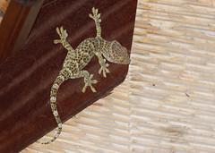 Tokay gecko (Gary Faulkner's wildlife photography) Tags: tokaygecko bali