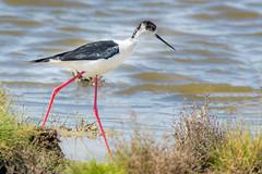 échasse blanche (himantopus himantopus) (G.NioncelPhotographie) Tags: oiseau ornitho animaux pentax nature échasse blanche limicole