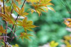 Maple leaves (JPShen) Tags: maple leaf leaves bokeh