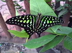 Tailed Jay (Shaikh Gaffar) Tags: mumbai india butterfly mobile ngc