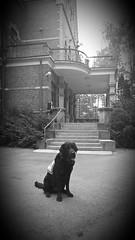 Finnish assistance dog (Sanna Taas) Tags: assistancedog service dog labrador retriever servicedog avustajakoira