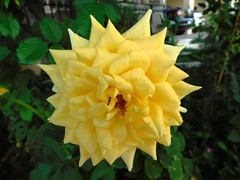 .Yellow rose of Samos Greets you good morning (chaya760 aka Kristian Sagia) Tags: fleur blumen fiori rose yellow photo beauty nature plante plant