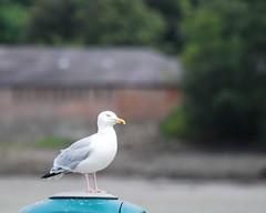 3421 Herring gull - Larus argentatus (Andy panomaniacanonymous) Tags: 20160812 bangorharbour ggg herringgulllarusargentatus hhh lll