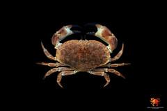 Cancer pagurus (radostaondrej) Tags: cancer pagurus krab nmeck cancridae underwater edible crab dormeur grote hoofdkrab krabbtaska noordzeekrab sapateira slagkrab steenkrab taschenkrebs taskekrabbe toogkrab zeekrab