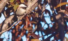 Birdwatching 20141022 (caligula1995) Tags: plumtree chickadee 2014
