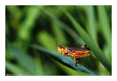 Peek-a-Boo (TooLoose-LeTrek) Tags: nature insect bug grasshopper blades grass blur