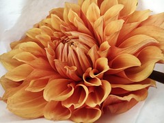 dahlia (shot on my iPhone 6s) (norlandcruz74) Tags: new flower flora flowers union square farmers market nyc ny york city manhattan norland cruz pinoy filipino pilipino filam iphone 6s closeup macro
