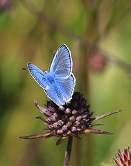 Common Blue (patwyse152) Tags: insect butterfly nature kildare ireland macro canon